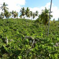 Un champs de l'ylang-ylang