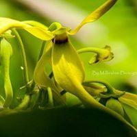 Une fleur de l'ylang-ylang